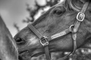 Close up, Horse, BW