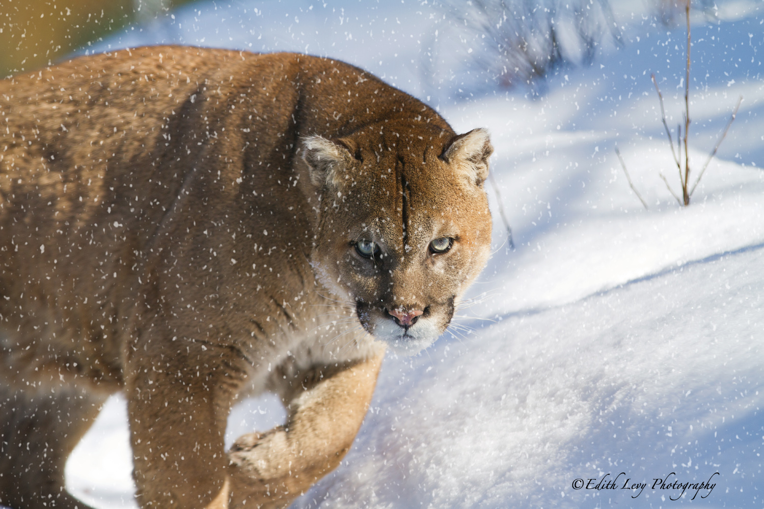 cougar time