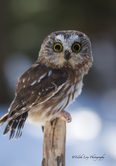 saw whet, owl, muskoka, ontario, wildlife centre