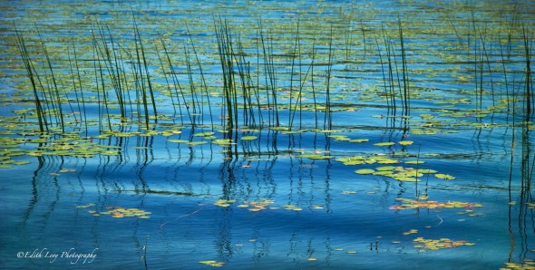 water, plant, Maine, landscape, water lilies