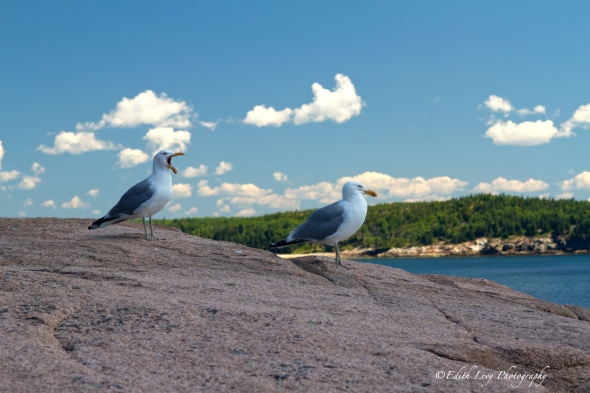 Acadia National Park, Maine, Otter Point, seagulls