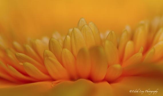 macro, flower, gerber