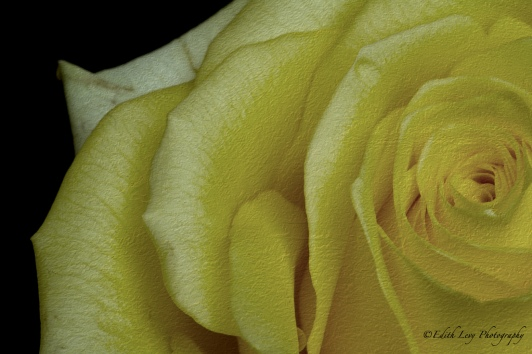 yellow, rose, flower, macro photography, texture
