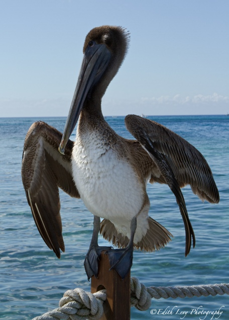 pelican, beach, sea, nature, bird, Cozumel