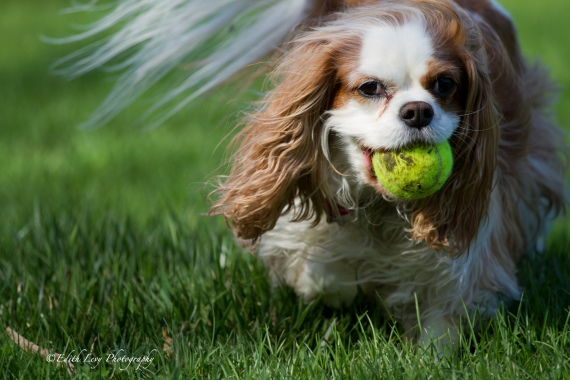 cavalier king charles spaniel, dog, park, ball