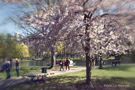 Boston Common, public gardens, park, spring, cherry blossoms