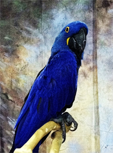 parrot, blue, bird, iphone, iphoneography, snap seed