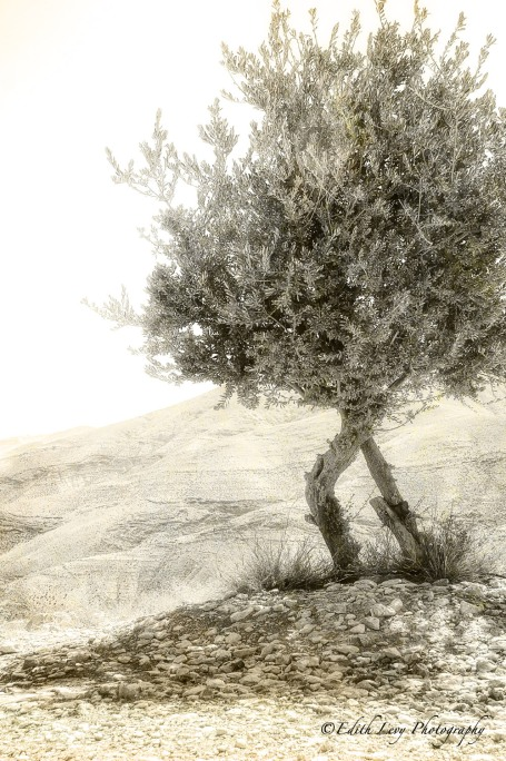 Judean Hills, Jerusalem, Israel, desert, tree, landscape, monochrome, travel, Edith Levy Photography