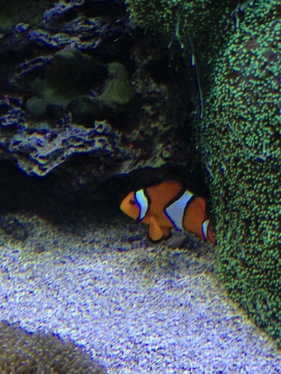 Monterey Bay, Aquarium, California, fish, clown fish, Finding Nemo, iPhone, iphoneography