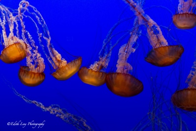 Monterey Bay Aquarium, California, jelly fish, blue, delicate, fragile