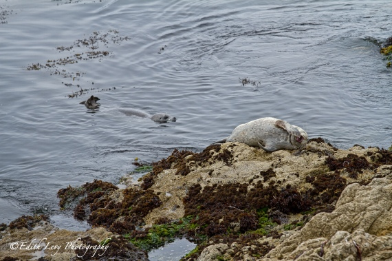 Seal, California Seal, Fanshell Overlook, 17 Mile Drive, Pebble Beach, Pacific Coast Highway, rocky shore, travel photography, nature, mammal