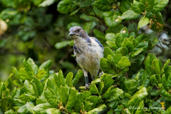 Blue Jay, Nepanthe, Big Sur, California, bird, tree, nature, feathers