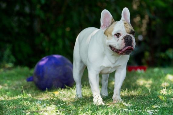 French Bulldog, Frenchie, pet photography, best friend, dog photography