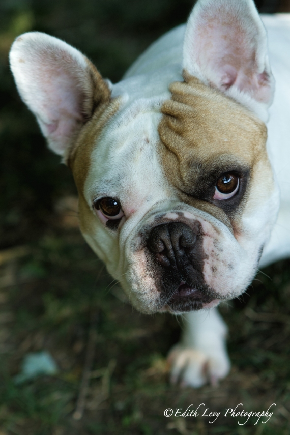 French Bulldog, Frenchie, pet photography, best friend, dog photography