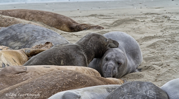elephant seals, rookery, Piedras Blancas, San Simeon, California, nature,
