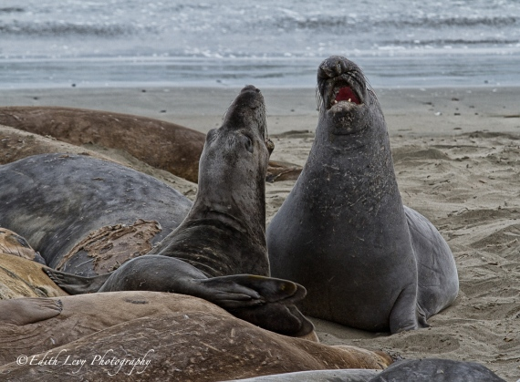 Elephant Seal, Rookery, San Simeon, Piedras Blancas, California, beach, nature, travel photography, ocean front, beach