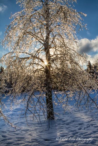 Ice Storm, Toronto, 2013, park, ice, trees, branches,