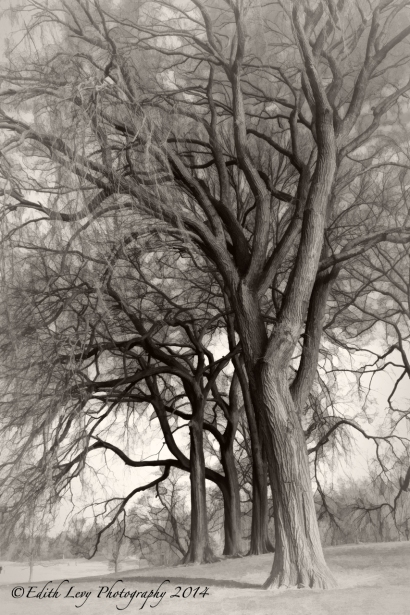 Prospect Park, Brooklyn, tree, park, monochrome, black and white, Topaz Simplify