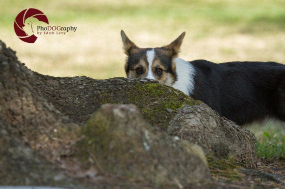 Toronto Pet Photographer, Paw Print Divas, Houston, photo shoot, lifestyle pet photography, Corgi, Topaz DeNoise