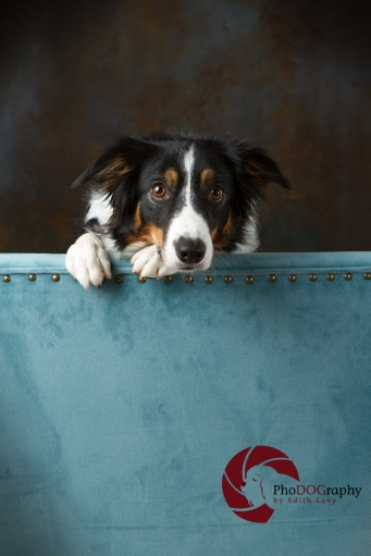 Toronto Pet Photographer, Paw Print Divas, Houston, photo shoot, lifestyle pet photography, Border Collie, studio