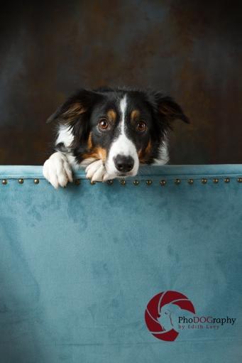 Toronto Pet Photographer, Paw Print Divas, Houston, photo shoot, lifestyle pet photography, Border Collie, studio