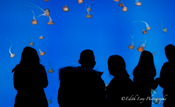 Ripley's Aquarium, Toronto, attraction, jellyfish, jellies, silhouette, water, blue