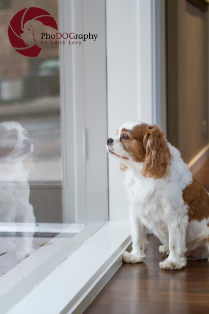Cavalier King Charles Spaniel, CKCS, CKC, reflection, Toronto Pet Photographer, weekly photo challenge