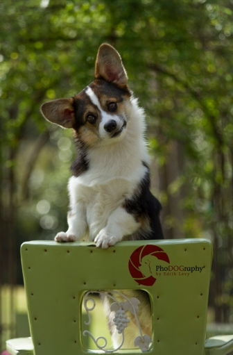 Toronto Pet Photographer, PhoDOGraphy by Edith Levy, Corgi, Paw Print Divas Workshop, dog