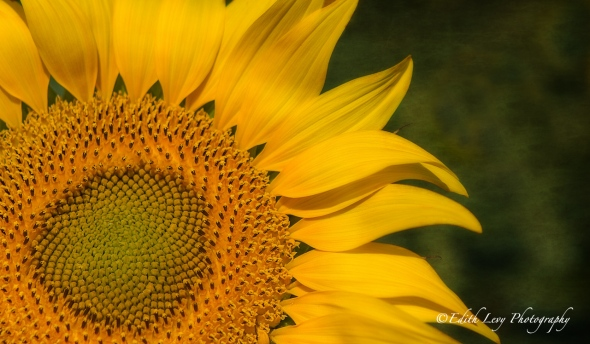 Sunflower, nature, flower, flower photography, yellow